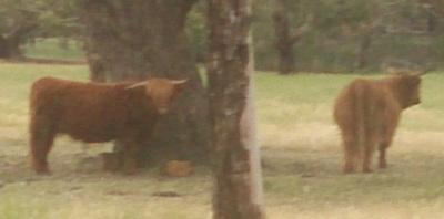 Fat Yaks in a Paddock