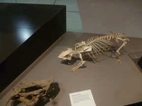 Rodent fossil