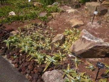 (pic - Story) Singapore Botanic Gardens - Desert Garden 04
