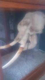 The elephant skull