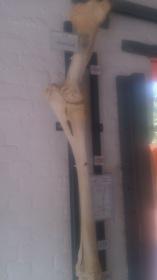 The Giraffe leg