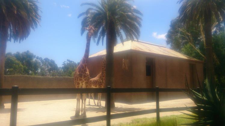 (pic - Story) Adelaide Zoo - Giraffe