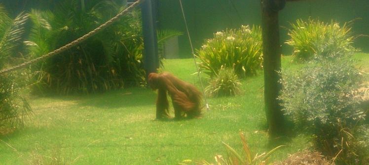 (pic - Story) Adelaide Zoo - organutang