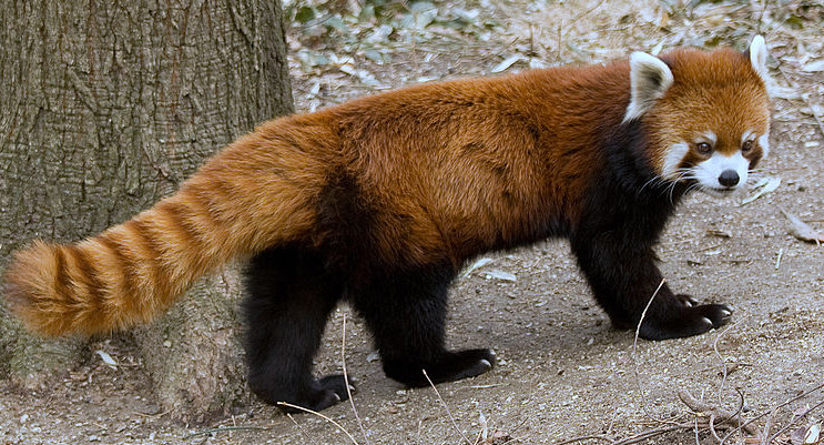 (pic - Story) Adelaide Zoo - Red Panda