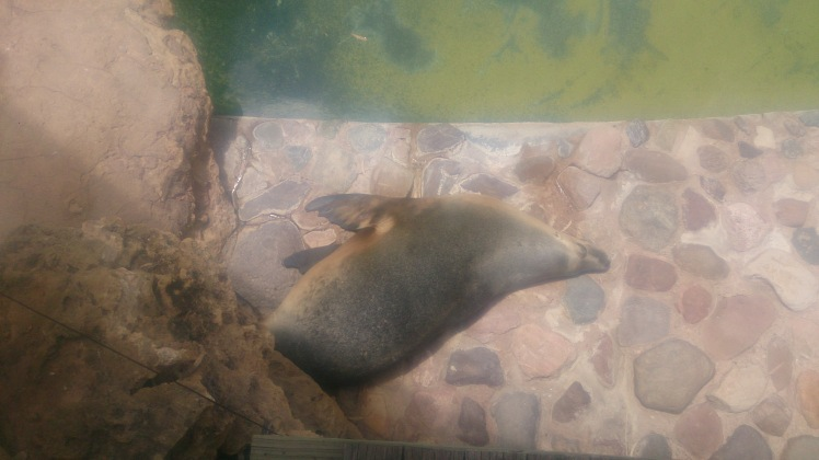(pic - Story) Adelaide Zoo - Seal