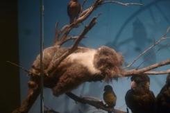 (pic - Story) SA Museum - Native Animals 04
