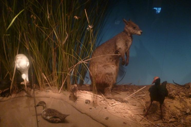 (pic - Story) SA Museum - Native Animals 05