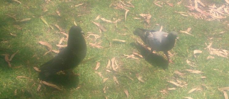 (pic - Story) SA Museum - Pigeon Play