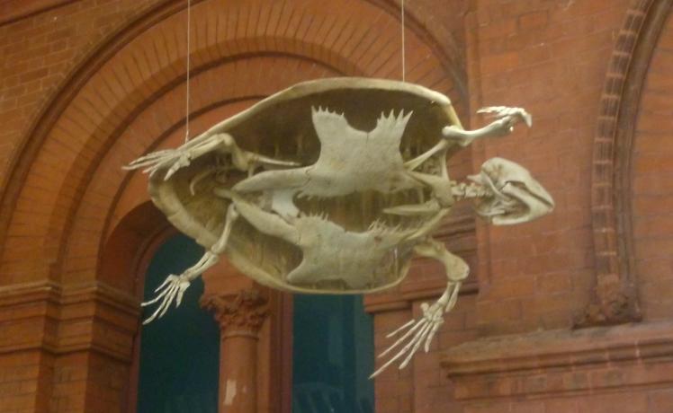 (pic - Story) SA Museum - Turtle Skeleton