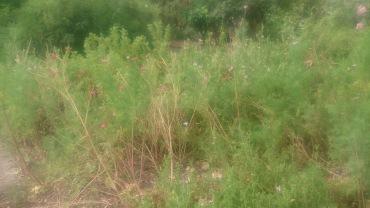 (pic - Story) Adelaide Gardens - Overgrown Bush 04