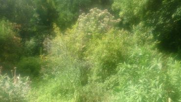 (pic - Story) Adelaide Gardens - Overgrown Bush 06