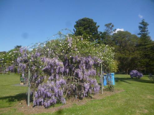 (pic - Story) Parramatta - Wisteria Gardens 01