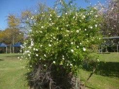 (pic - Story) Parramatta - Wisteria Gardens 02