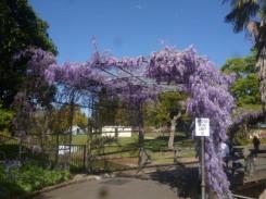 (pic - Story) Parramatta - Wisteria Gardens 05