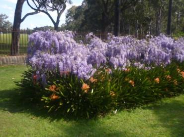 (pic - Story) Parramatta - Wisteria Gardens 10