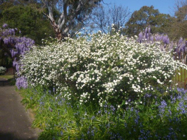 (pic - Story) Parramatta - Wisteria Gardens 12
