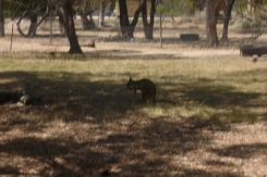 (pic - Story) To Melbs - Kaniva Animal 03