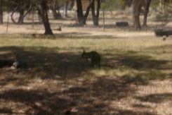 (pic - Story) To Melbs - Kaniva Animal 03