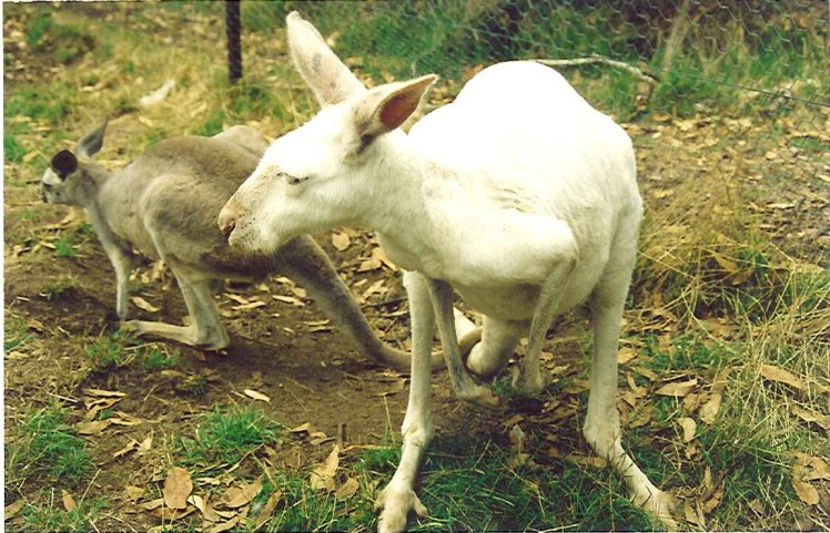 (pic - Story) To Melbs - White Kangaroo