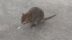 (pic - Story) Perth Quokka