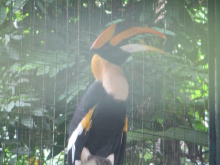 (pic - Story) KL - Hornbill